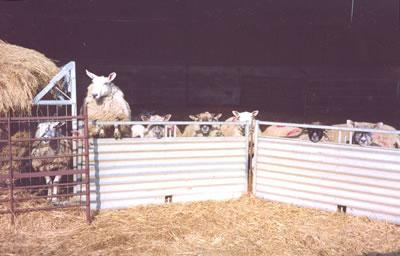 The lambing season at Fyfett Farm