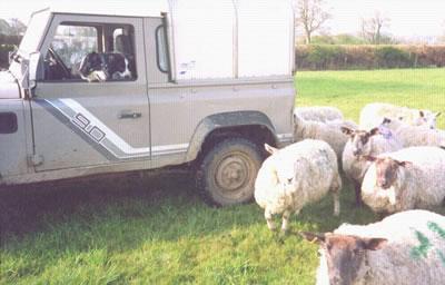 Sheep dogs at Fyfett farm