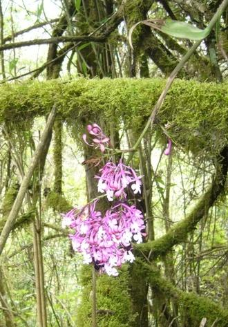 ORCHIDS AT QUILLOTURO