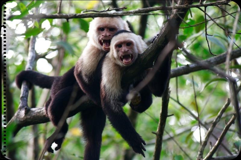 White Face Capuchins
