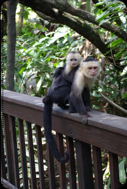 Capuchin Motherhood