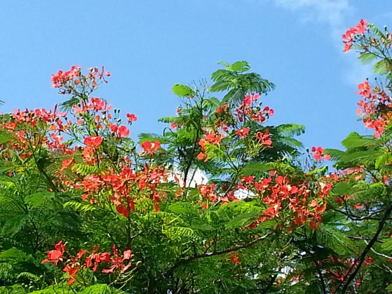 Flambouyant Tree in bloom close to kitchen
