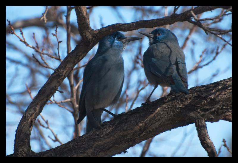 Blue Jays are frequent visitors to our bird feeders outside the living room window.