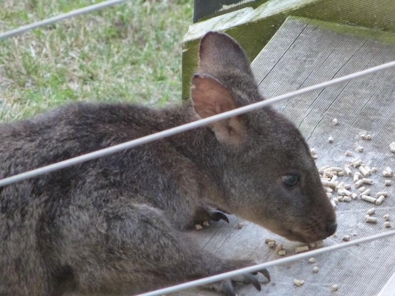 Visting Wallabies