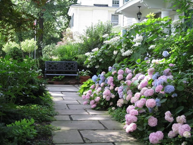 Enjoy our hydrangeas on front walkway in June and July.