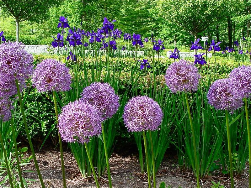 Gardens: Allium border, late May