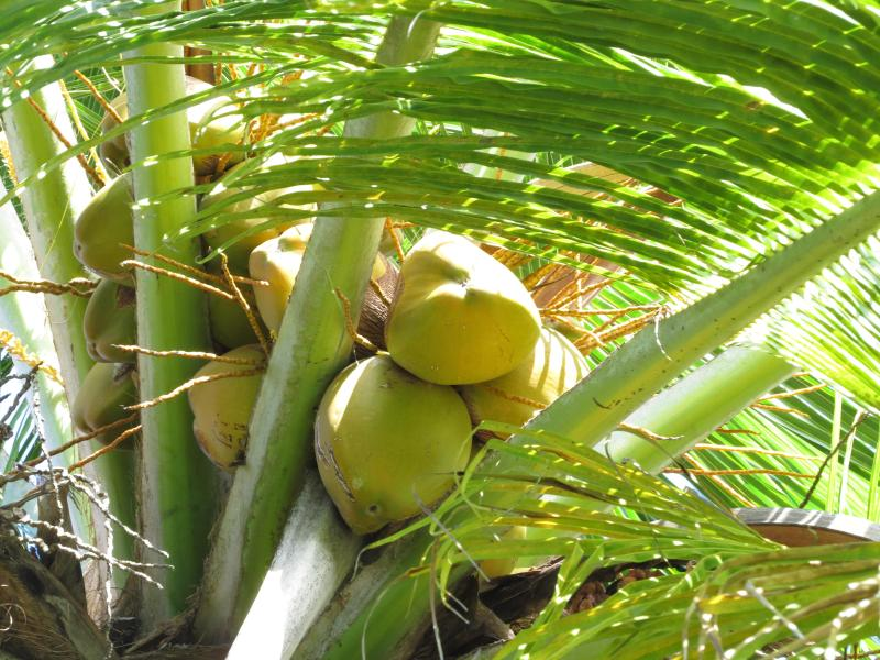 Anyone for a coconut? They grow on trees in our garden