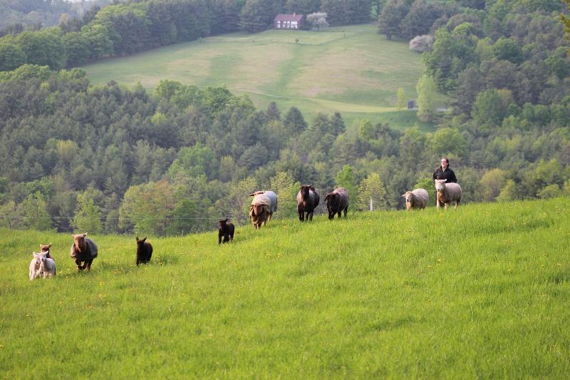 Le troupeau Coming Home pour le dîner