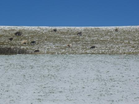 Cattle in the frost grazing on Danish Camp hill fort, five minutes walk from the B&B...