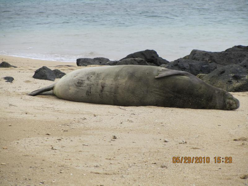 Hawaiian Monk Seal Taking a Nap