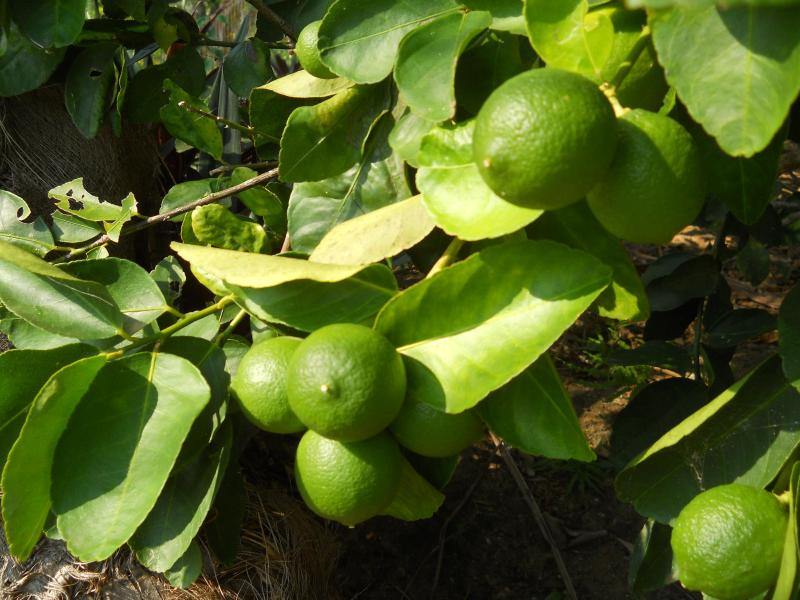 Limes galore, right out the front door