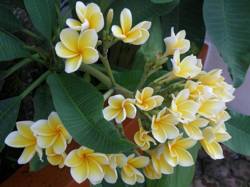 The Balinese Cambodja flower. Used in many ceremonies