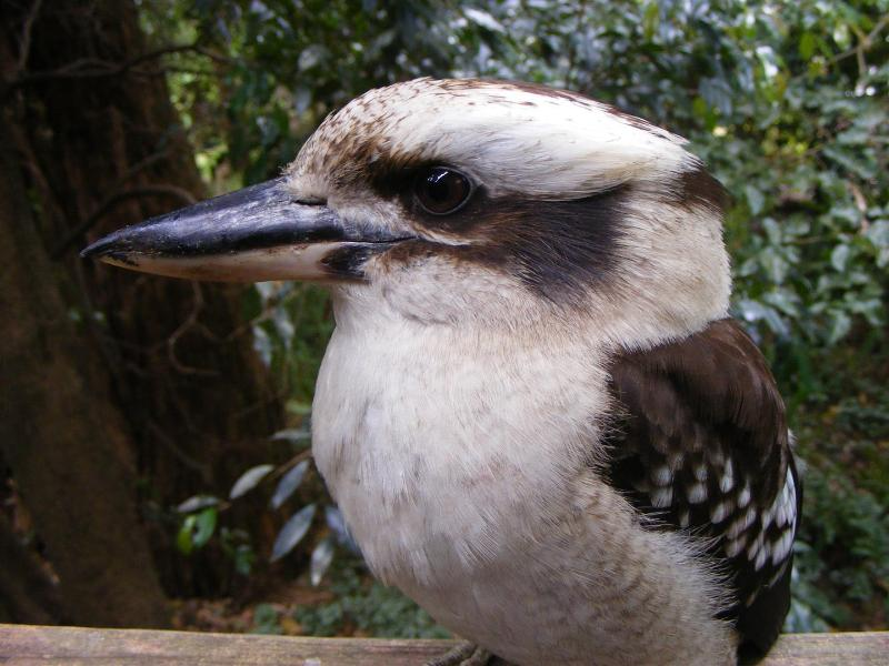 Our friendly Kookaburra that comes to visit every few days
