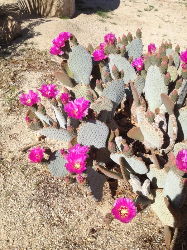 Cacti blooming