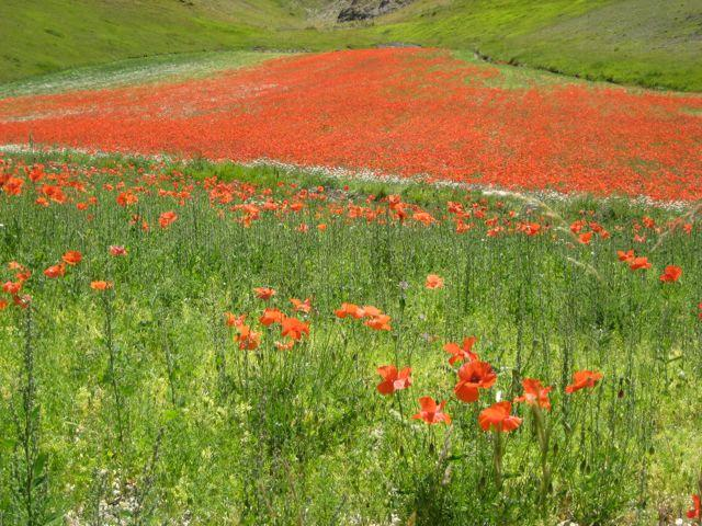 Early Summer poppies