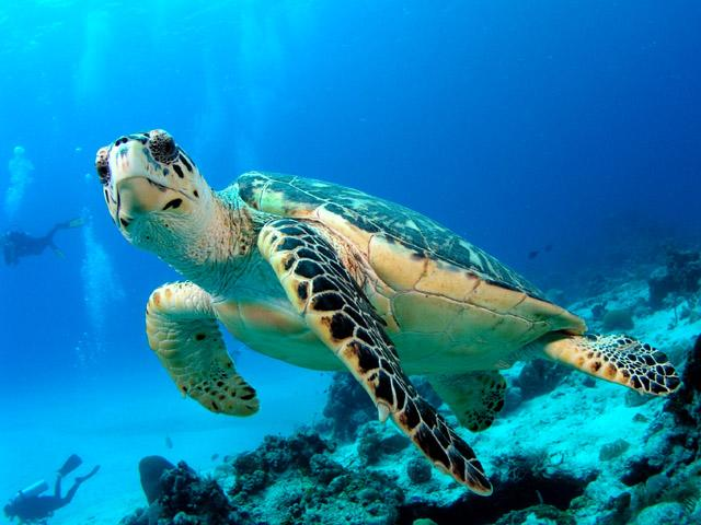 Gili Trawangan is also known as the Turtle capital of the world