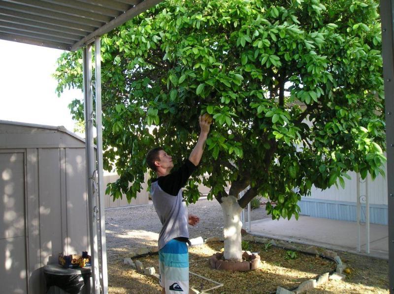 recogiendo pomelo del árbol al lado de cochera