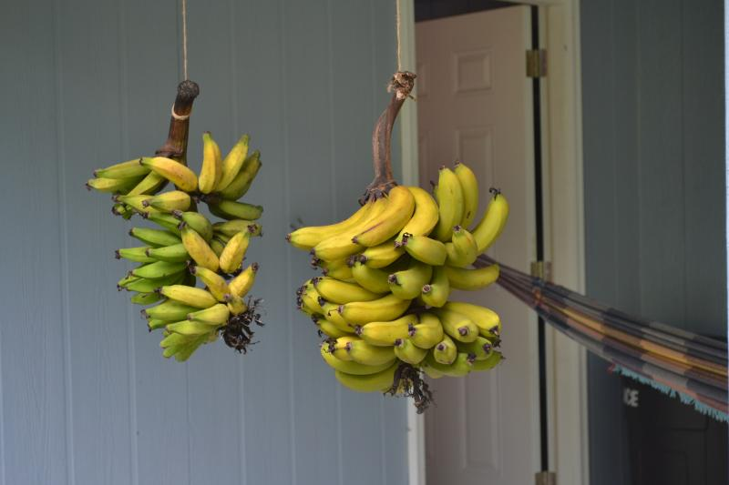 Bananas  from our trees