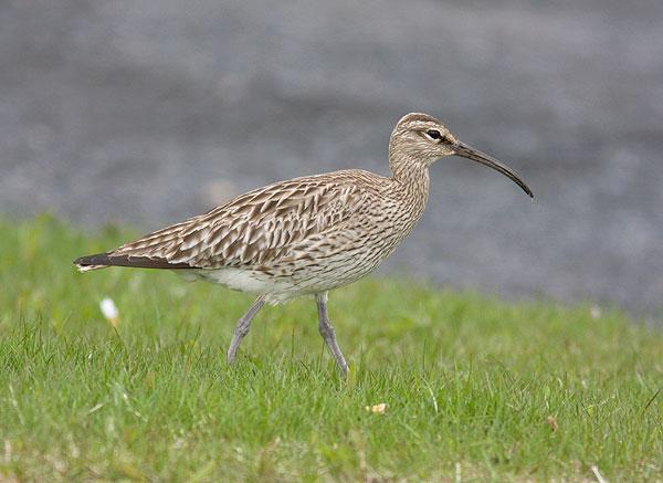 Spói / Whimbre / Whimbrel.
