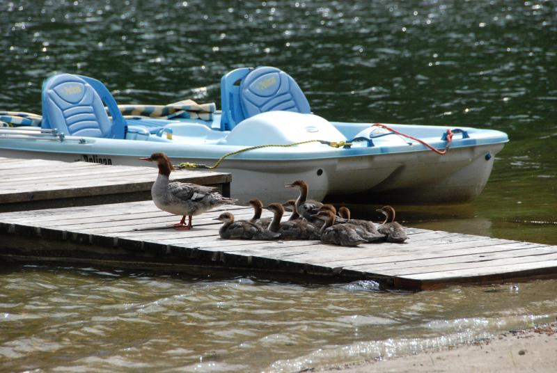 Ducks Sunning Themselves on Dock