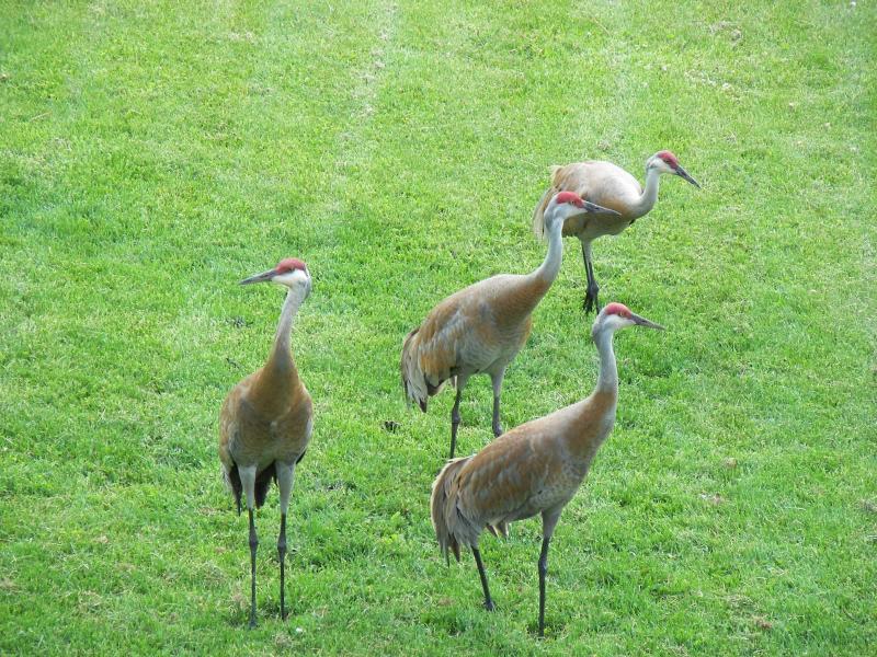 Sandhill cranes de-bugging our lawn