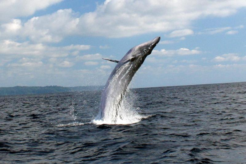 Cano Island is the best place for whale watching in Costa Rica.  Tours available every day