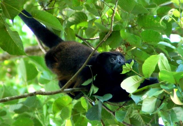 Howler monkeys live in the protected jungle on the ridge. Hear them serenade the sunrise & sunsets!