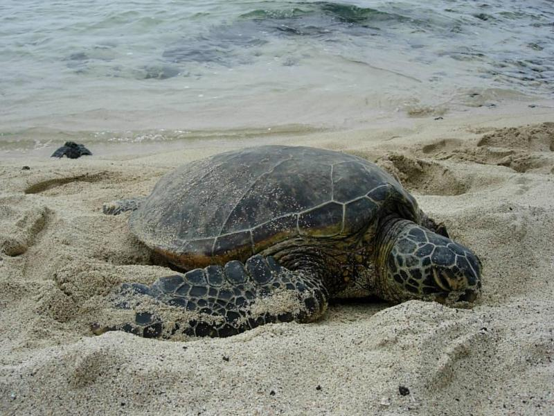 Turtles are everywher in S. Kona