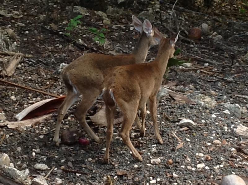 our 3 pet deer