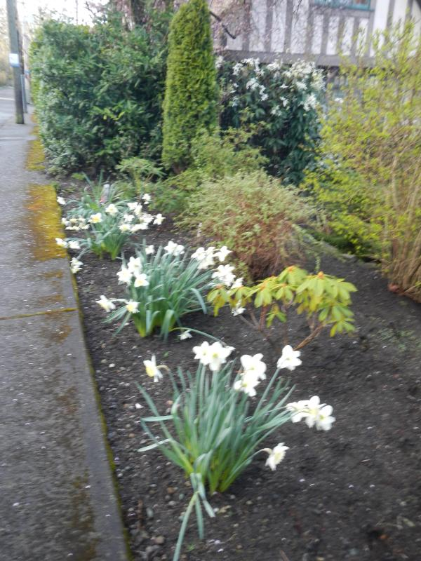 Daffodils 1st day of Spring