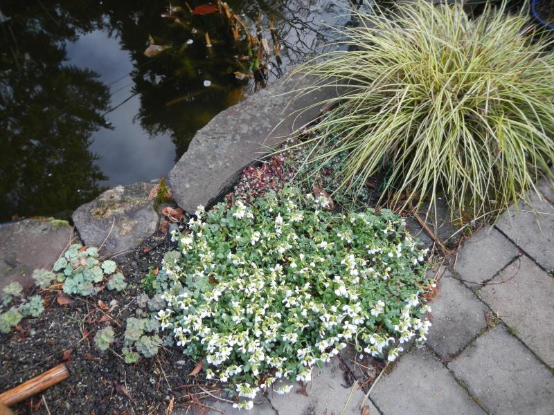 Ground cover blooming in March