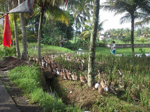 Nos voisins quacky aider les agriculteurs à la récolte du riz