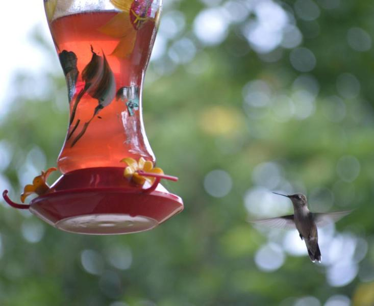 Our Hummingbirds