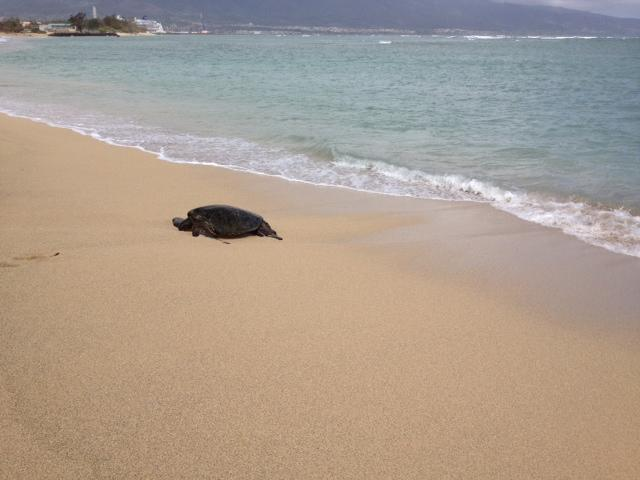 Turtle on the beach resting!