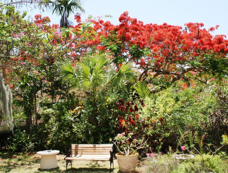 Verano - Poinciana en flor en el jardín de algodón de seda