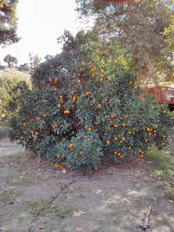 Uno degli alberi 16 frutta sulla proprietà