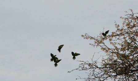 Morning Parrots.