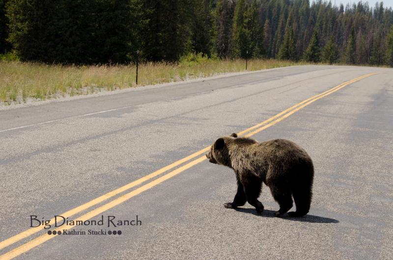 Grizzly bear, op de weg van de Big Diamond Ranch hutten