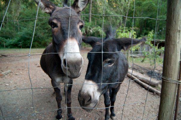Coco en Sicilië-ingezeten ezels