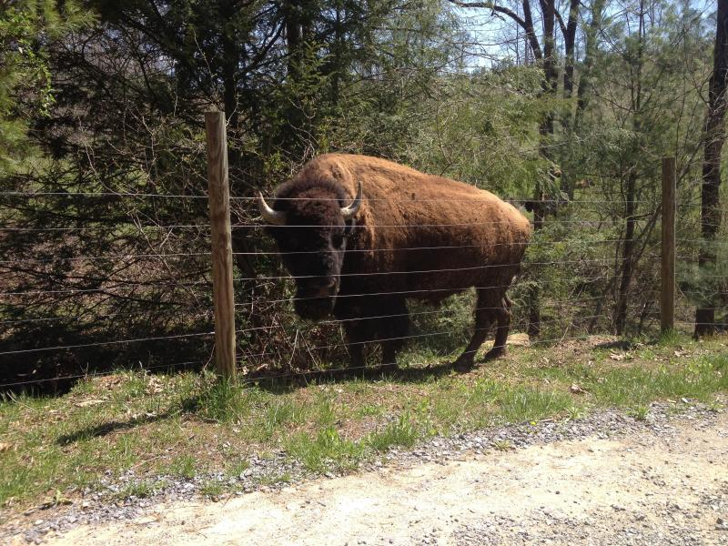 See our American Bison herd everyday