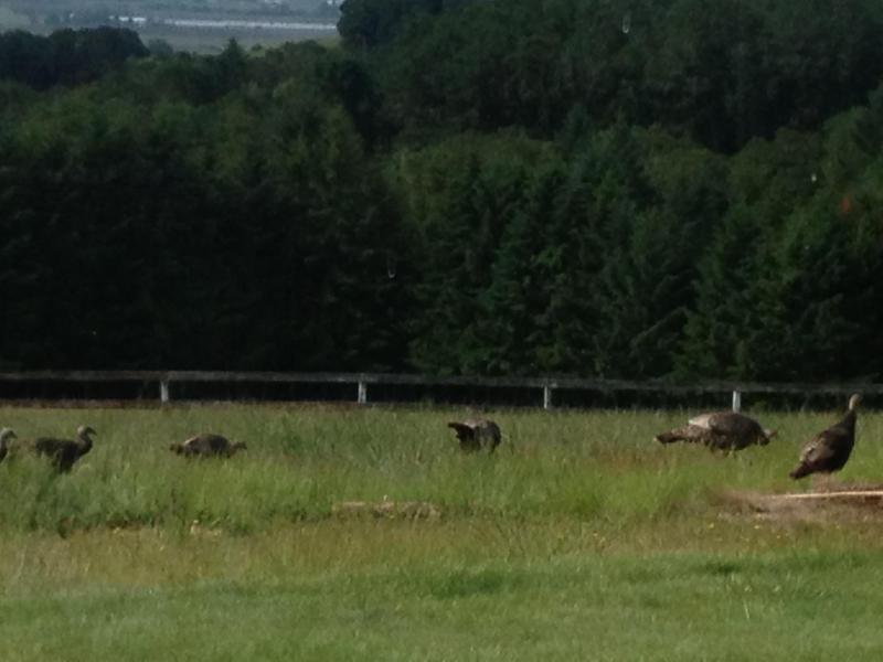 Pavos salvajes pastan en los campos