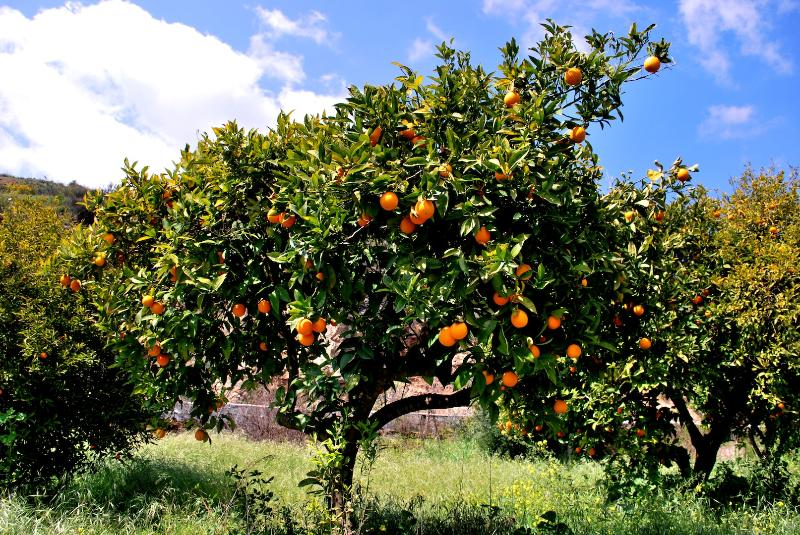 Orange trees in our family's orchard.