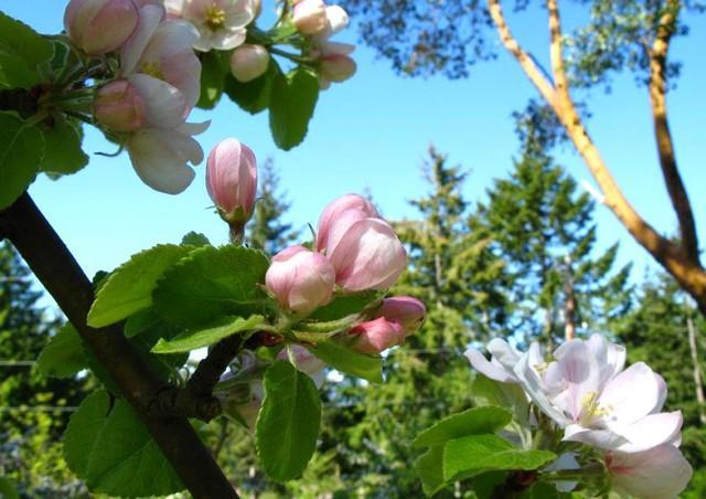 Apple blommar på våren, ta vackra äpplen på hösten.