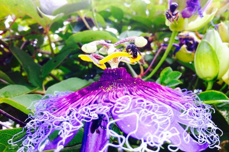 passion fruit being visited by bees