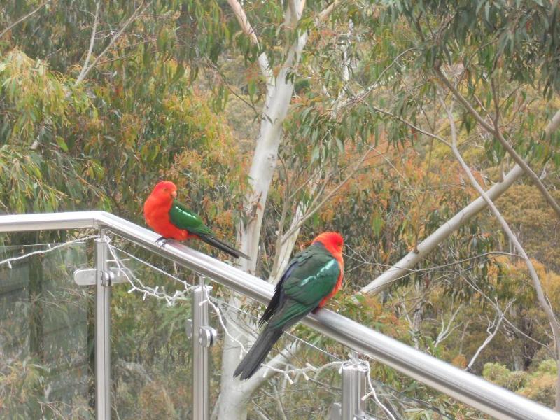 King parrots Treetops deck