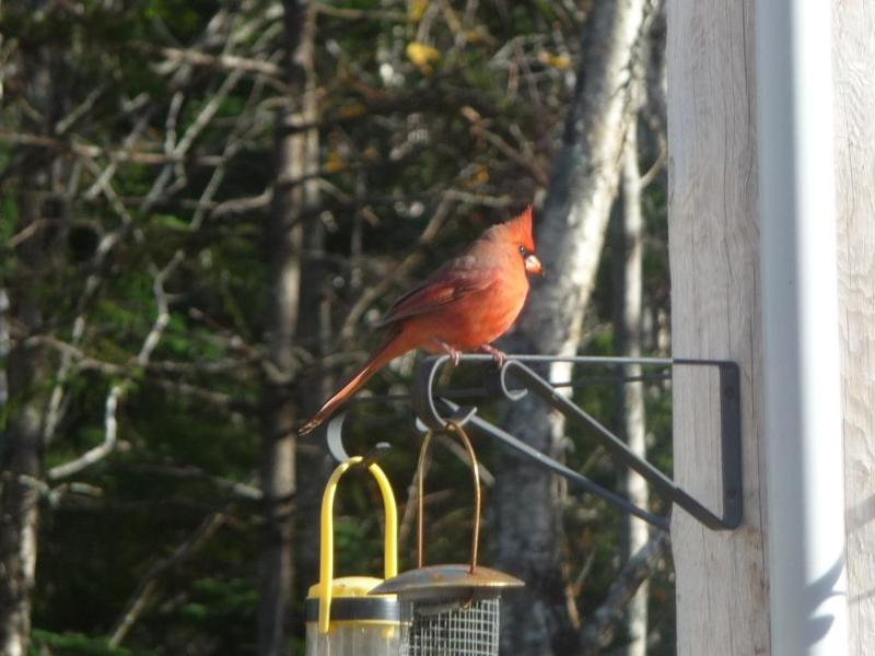 a cardinal in front of the house