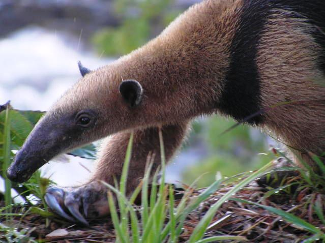South American Ant Eater