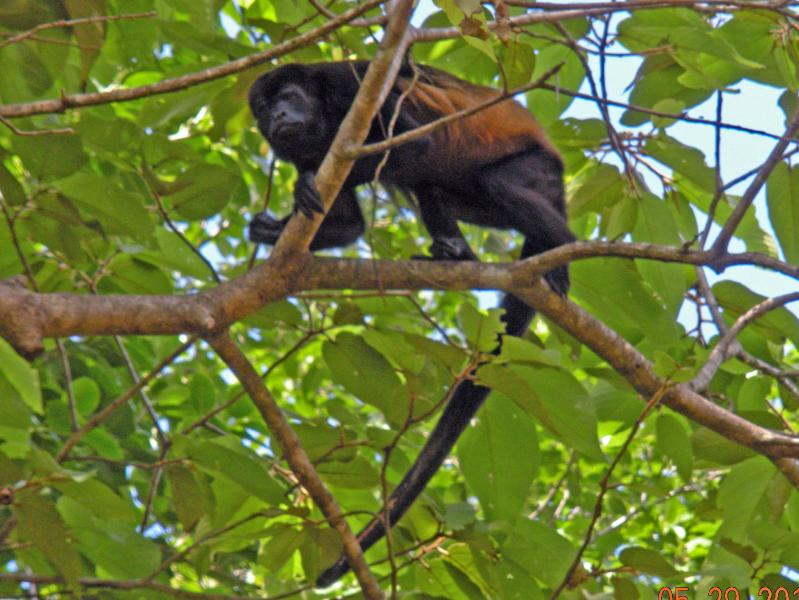 Howler Monkey - Male