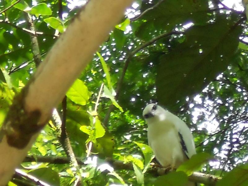 Local Fauna, black and white hawk