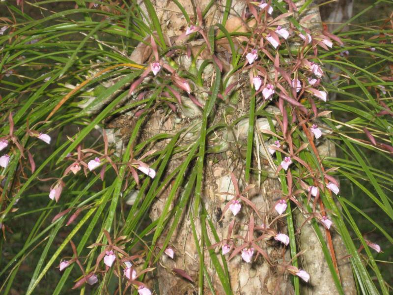 A spray of local indigenous orchids in bloom